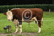 Hoornloze hereford stier