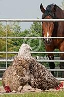 Noord-Hollandse blauwe met paard
