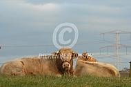 Blonde d'Aquitaine stier met koe