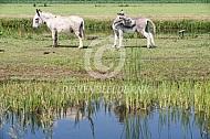 Twee ezels bij het water