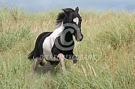 Met je miniatuur paard naar de duinen