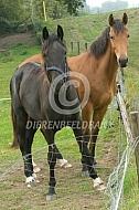 Twee paarden met slechte afrastering