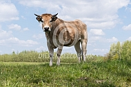 Marachine koe