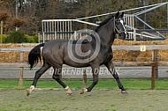 Dravend paard in de bak