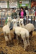 Alpacashow in België