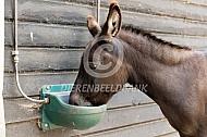 Mediteranne mini-ezel drinkt water