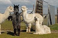 Alpaca en Suri Alpaca