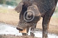 Duroc vleesvarken eet brood