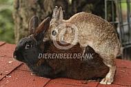 dekking konijn