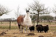 Lama en ouessant schapen