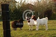 Boergeit met ouessant schapen