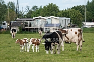 Familiekudde met kalfjes en koeien