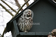 Roepende steenuil (Athene noctua)