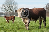 Hereford stier met kalf
