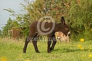 Poitou ezel veulen