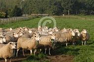 Kudde Flevolanders