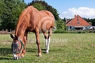 Paard met anti-vliegen frontriem