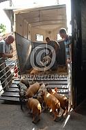 Vervoer kunekune varken met biggen