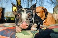 Berkshire bi met hond