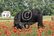 IJslands paard met zomereczeem