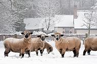 Hampshire Down in de sneeuw