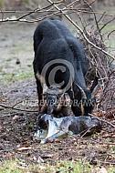 De geboorte van een geitenlam