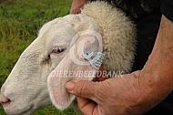 Identificatie en registratie schapen