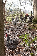 Noord-Hollandse Blauwe haan in het bos