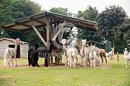 Alpaca's bij de hooiruif