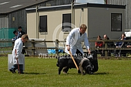 Keuring van varkens in Engeland (saddleback)