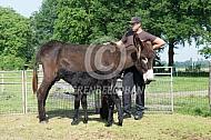 De Poitou ezel met drinkend veulen