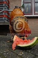 Brahama eet watermeloen
