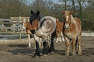 Trekpaarden in de paddock