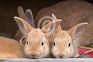 Klein zilver jonge konijntjes