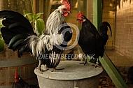 Voorbereiding kippenkeuring