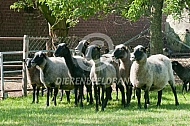 Romanov schapen