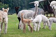Alpaca met pas geboren cria