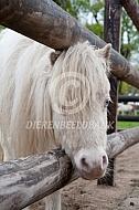 American Miniature Horses