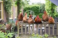 Kippen rusten uit
