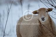 Nolana ruischaap in de winter
