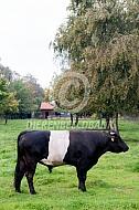 Lakenvelder zwartbonte stier