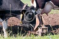 Fries Hollandse koeien bij weidepomp