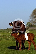 Lakenvelder koe met kalf