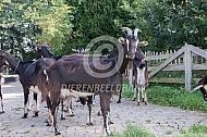 Poitevine geiten