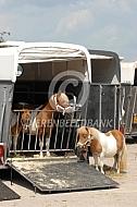 Vervoer Shetlander pony