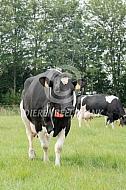 Fries Hollandse koe in de wei