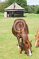 Paard in de wei met schuilstal