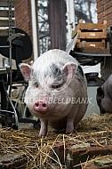 Huisvarkens