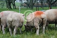 Poll Dorset schapen