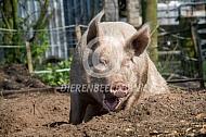 Groot roze varken